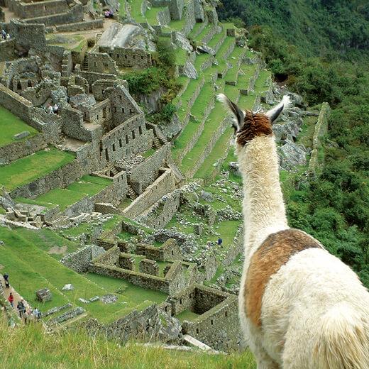 Ein Lama schaut auf die Inkastätte Machu Picchu runter