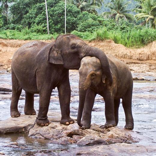 Elefanten Babies in Pinnawala