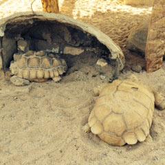 Des tortues au village bédouin