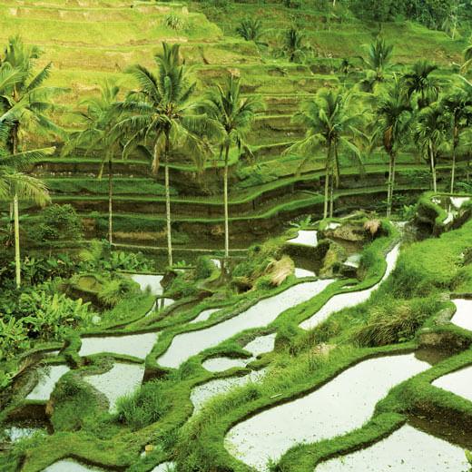 Die bekannten Reisterrassen bei Ubud