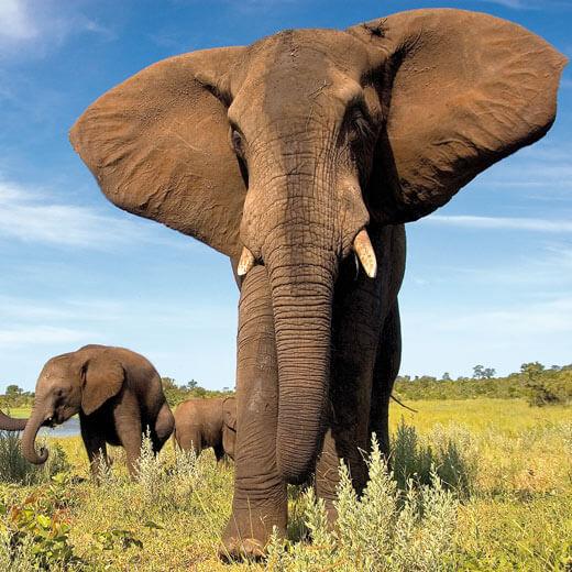 Begegnungen mit Elefanten sind im Chobe – Nationalpark nicht selten