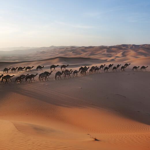 Kamele in der Wüste um Abu Dhabi