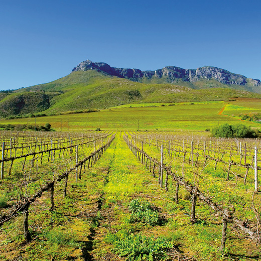 Die grünen Weinberge bei Stellenbosch