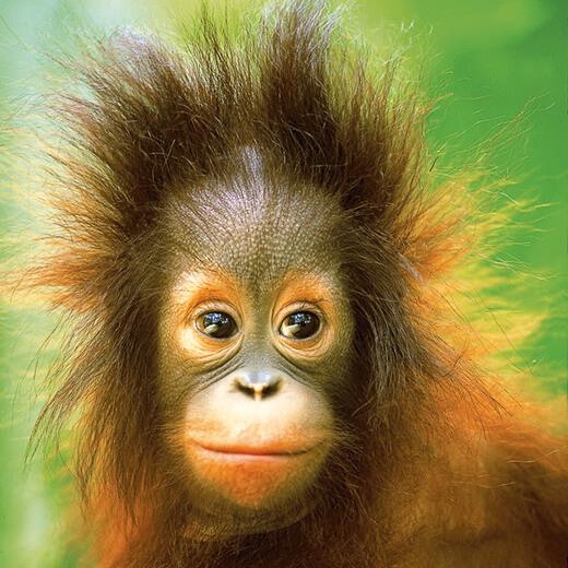 Erlebt die wundervollen Orang-Utans von Sumatra