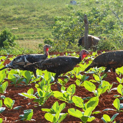Tabakplantagen bei Viñales