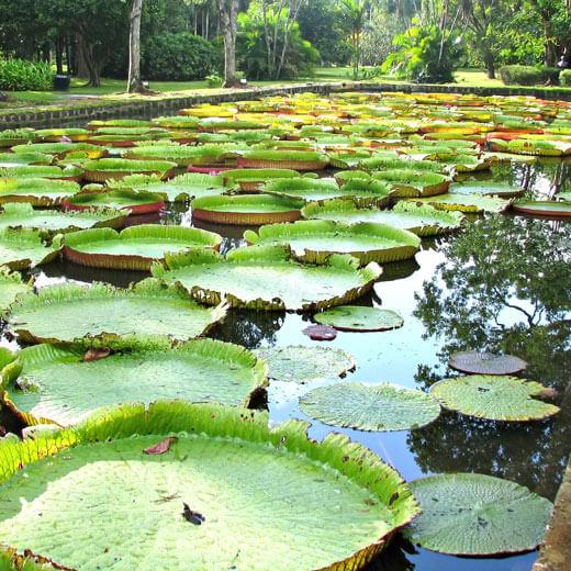 Die bekannten Seerosen des Pamplemousses Garten