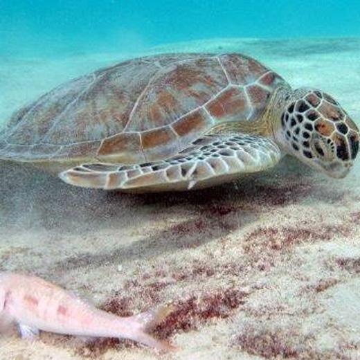 Schildkröten trifft man auf Tauchgängen an