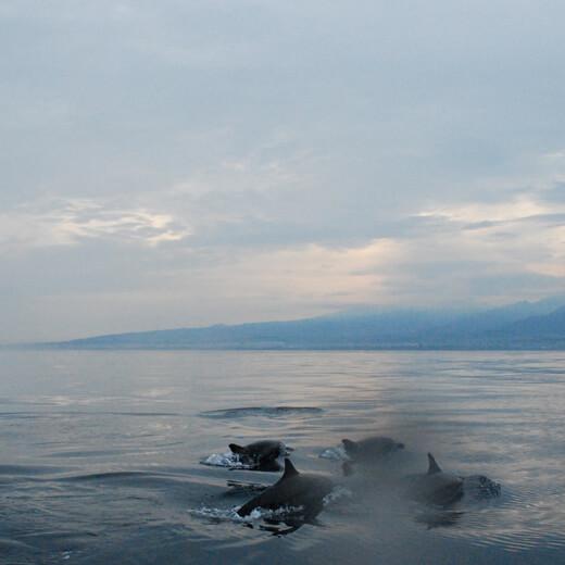 Delfine taumeln an der Nordküste Balis