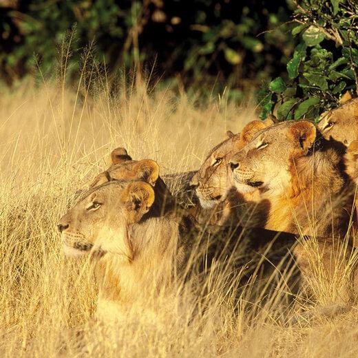 Auch diese Löwenfamilie geniesst die Sonne
