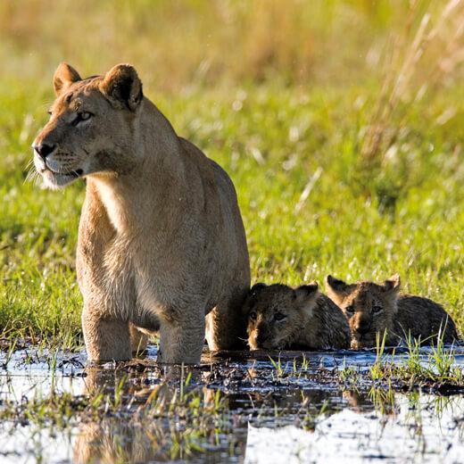 Eine Löwenmutter mit ihren Jungen.