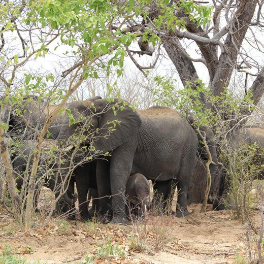 Einer der vielen Elefantenherden.