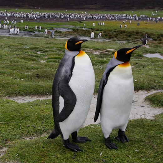 Königspinguinen auf den Falklandinseln