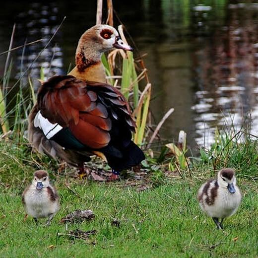 Eine Enten Familie im Vodelpark