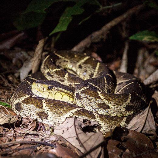 Eine Lanzenotter - die giftigste Schlange von Costa Rica