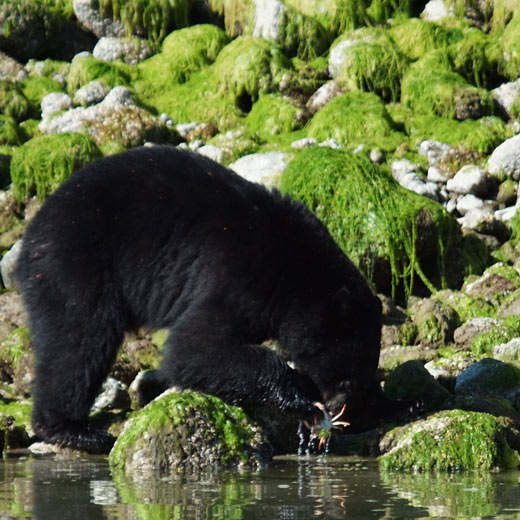 Bären gehen bei Ebbe an den Strand