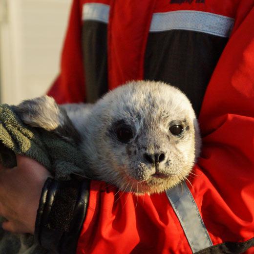 Das gerettete Seehundbaby