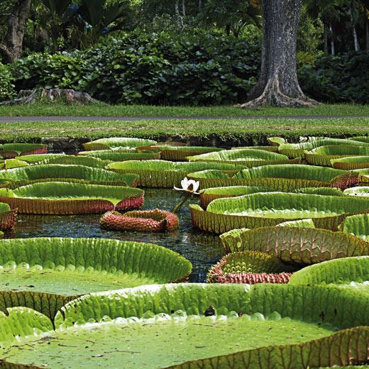 Riesenseerosen im Botanischen Gartens von Pamplemousses