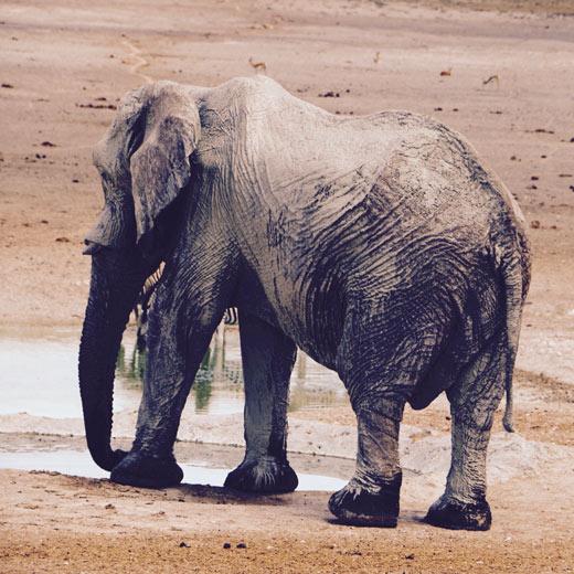 Ein Elefant im Etoscha  Nationalpark