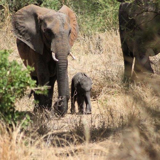 Un petit groupe d'éléphants