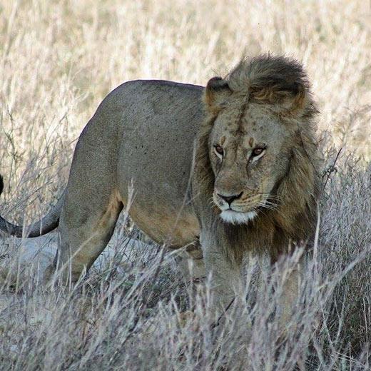 Un Lion dans le parc national du Serengeti