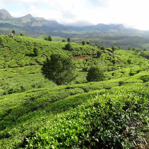 Munnar ou «vallées des thés»