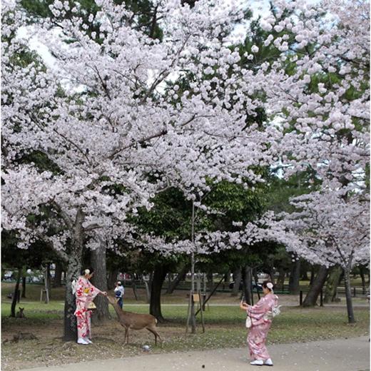 A Nara. les cerfs  se  déplacent en liberté dans la ville pour le plus grand plaisir des visiteurs !