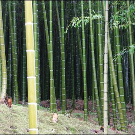 La forêt verte de bambous