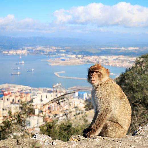 Ein Affe auf dem Berg von Gibraltar