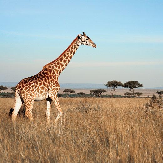 Kenia - Safari & Badeferien