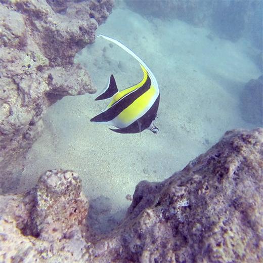 Kunterbunte Fischwelt beim Schnorcheln in der Hanauma Bay