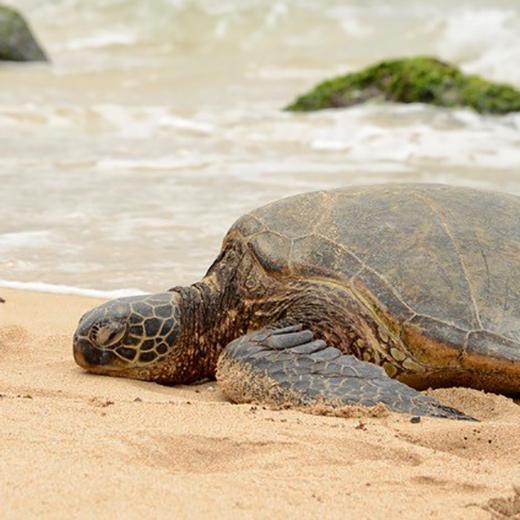 Schildkröte am Laniakea Beach