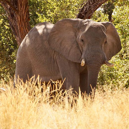 Ein Elefant in Namibia