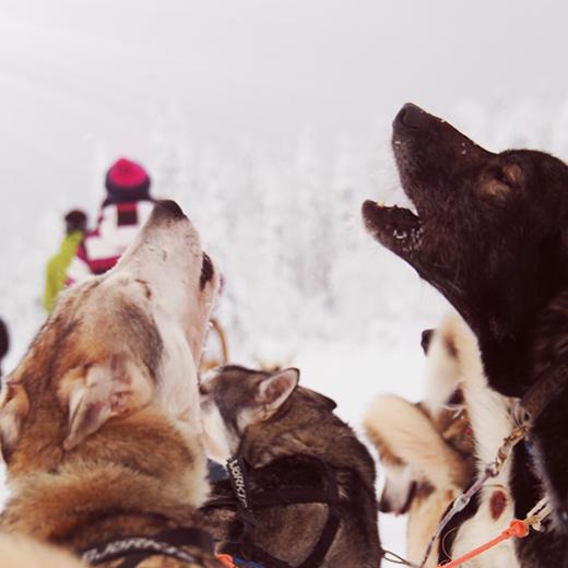 La balade en traîneau avec les huskies