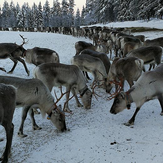 Casse-croute matinal à l'élevage de rennes