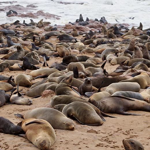 An der Küste von Cape Cross leben die grössten Kolonien von Seelöwen. Nase zu und staunen.
